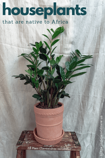 houseplants that are native to Africa