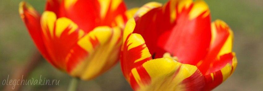 Тюльпаны, Что за прелесть моя невеста, фантастический рассказ, Олег Чувакин