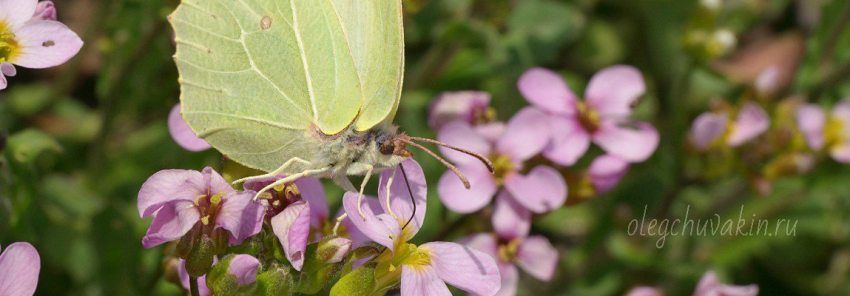 Бабочка-лимонница, смерть литературы, голодные писатели, Олег Чувакин