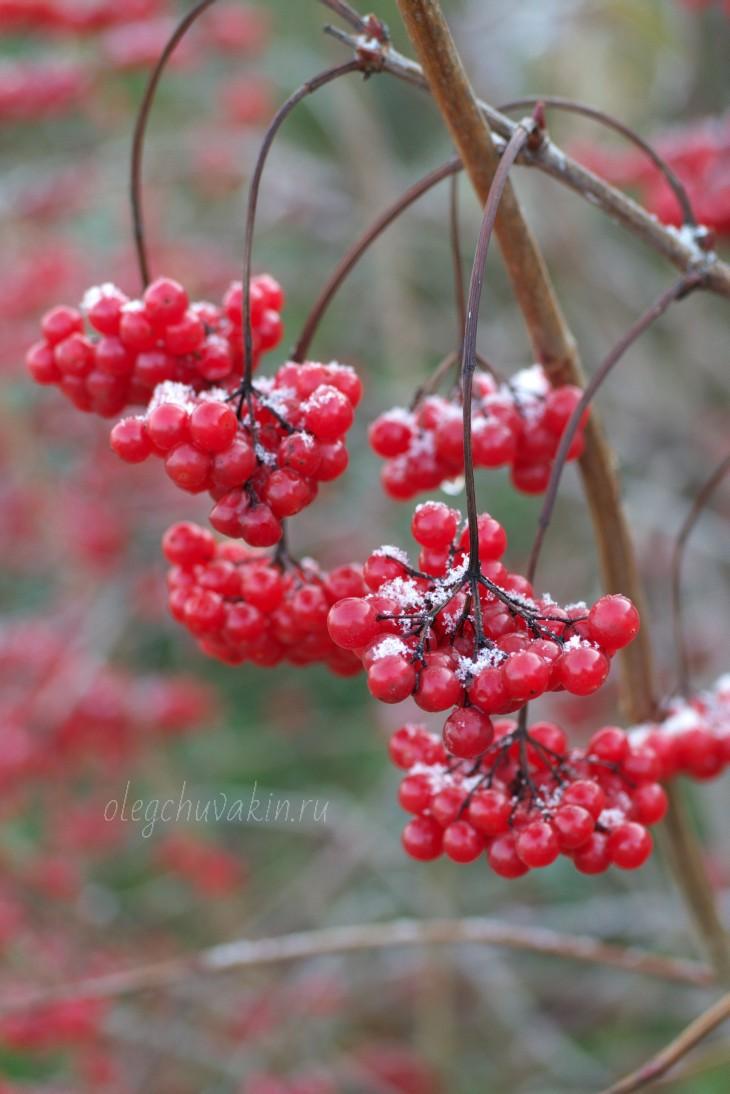 Первый снег, калина красная, фото, октябрь, Олег Чувакин