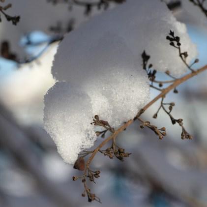 Снег на ветках, сирень, фото