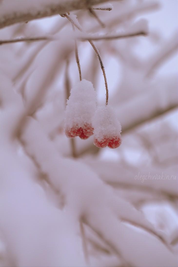 Калина, ноябрь, снег, фото, макро