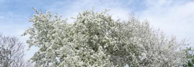 Цветущая яблоня на фоне бело-голубого неба, фото, Олег Чувакин, Рассказ о любви, воздух белый, как молоко