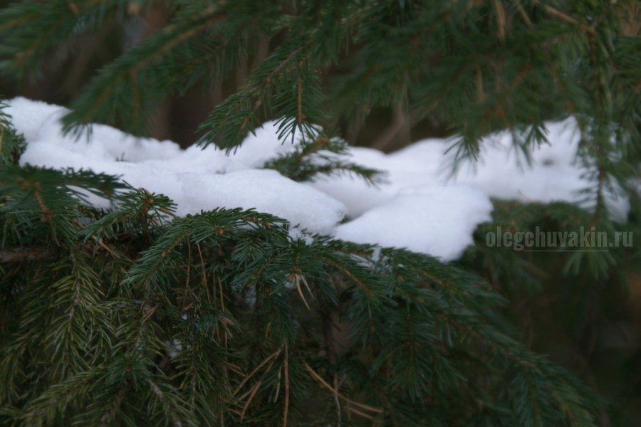 Снег на елях, снег на иголках, снежок, ели, хвоя, красивое фото