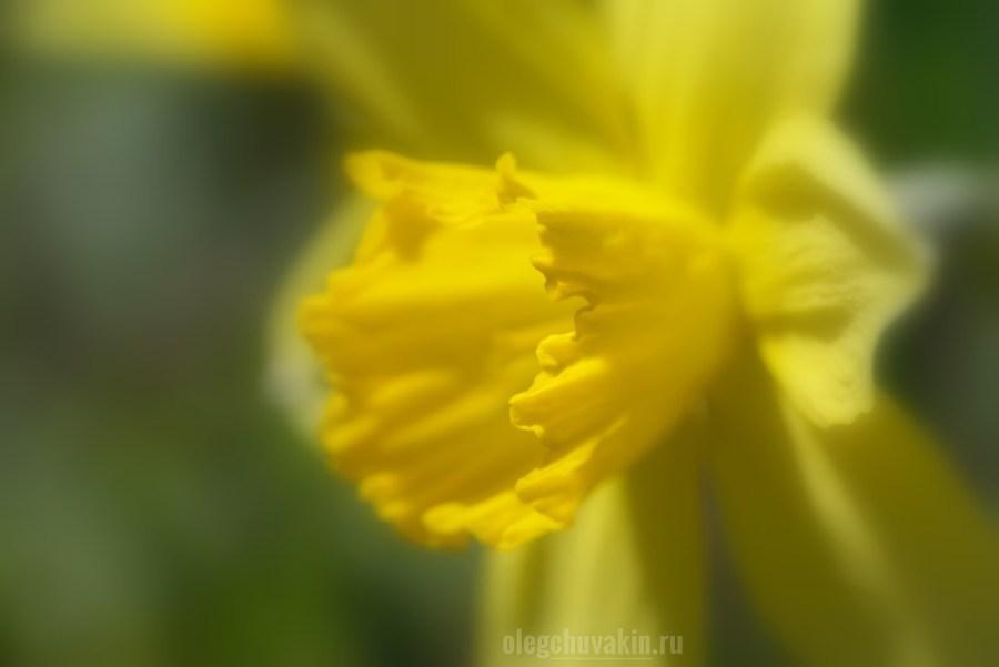 Нарцисс, красивое жёлтое фото