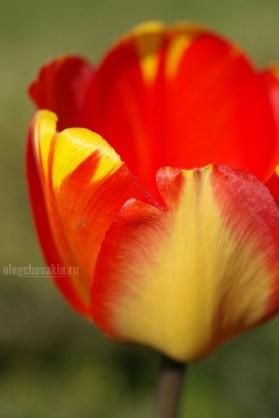 Тюльпан крупным планом, макро, фото, красный