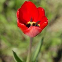 Красный тюльпан, красивое фото, май