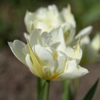 Тюльпаны, белое и жёлтое, фото