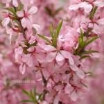 Миндаль, цветёт, цвет, май, фото