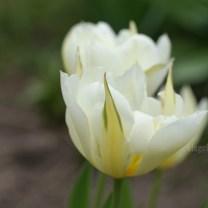 Тюльпаны, пара тюльпанов, сад, май, фото красивое
