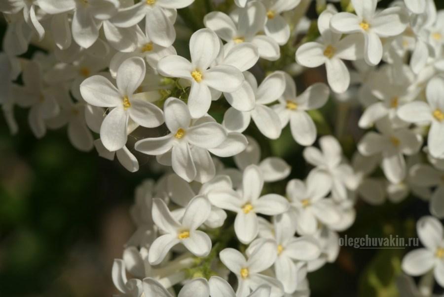 Белая сирень, white lilac, фото, красота