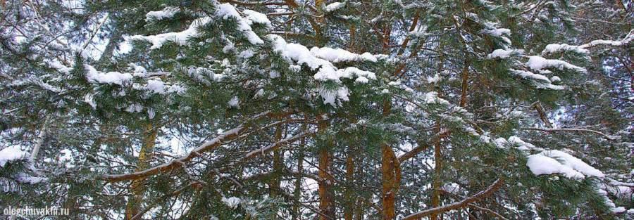 Сосны в снегу, Олег Чувакин, Сердце по имени Виктор, снежная повесть