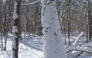 Зимний лес, деревья в снегу, берёза, фото