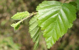Листья березы, лето, фото, Олег Чувакин