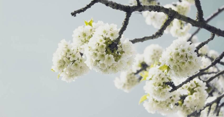 Весна, вишня, цветёт, цветки вишни, фотография