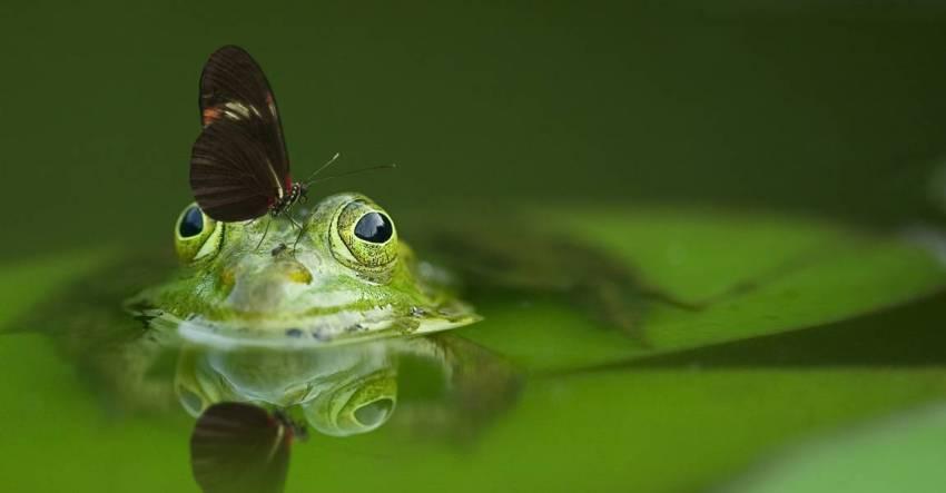 Лягушка, кувшинка, озеро, фото