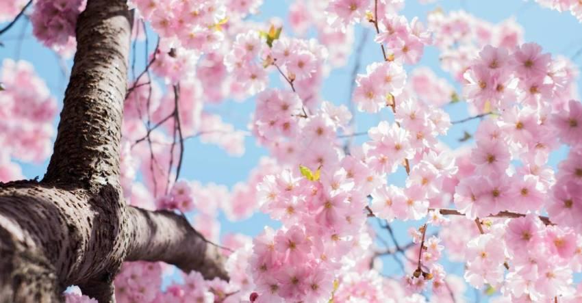 Цветущая вишня, весна, цветы вишни, фото
