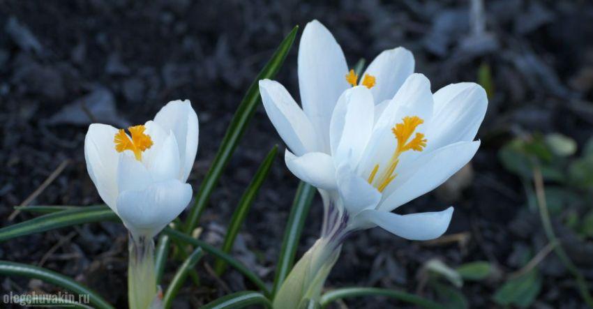 Крокусы, белые, цветущие, апрель, фото, иллюстрация