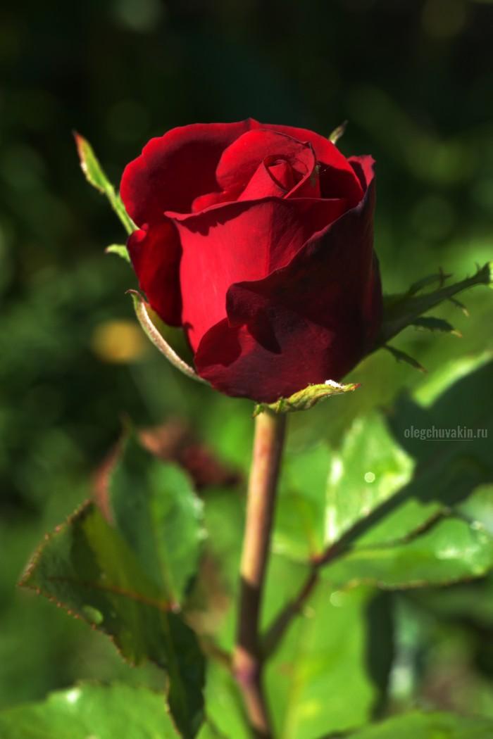 Роза, от автора, читателям, читательницам, сайт Олега Чувакина