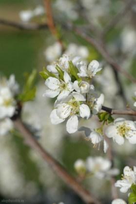 Цветущая слива, слива в цвету, весна, фото