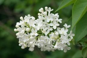 Белая сирень, цветки, фото