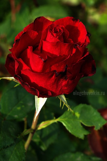 Красная роза, цветок, фото