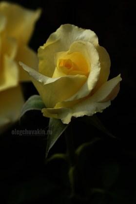 Жёлтая роза, цветок, расцветает, красивое фото