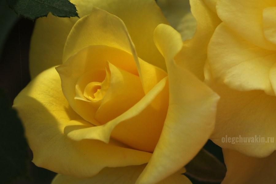 Жёлтая яркая, роза, фото, макро