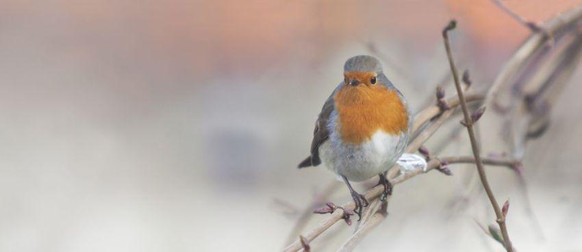 Малиновка, зарянка, птичка, лес, ветка, зима