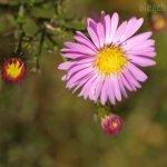 Цветы, сентябрины, фото