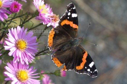 Vanessa atalanta, бабочка, адмирал, фото