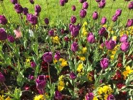 София тюльпаны