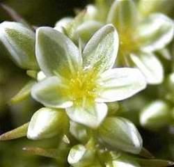 flor-scleranthus-flores-bach