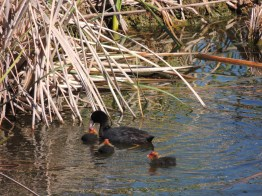 Young coots
