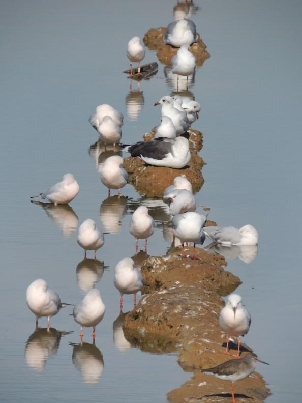 Mostly black headed gulls