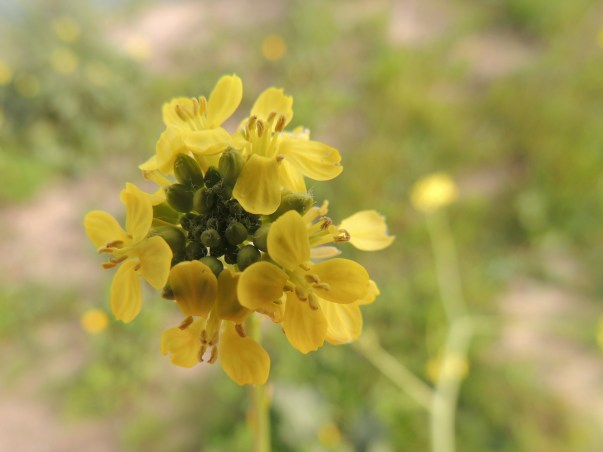 Close up of Hoary Mustard