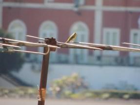 Birding from our terrace - European Serin