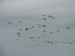 juveniles-and-adults-in-this-flock