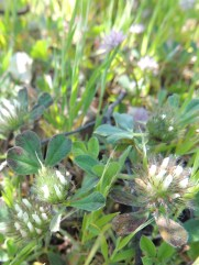 a-clover-yet-to-be-identified