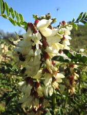 Wasn't just Almond blossom the bees were enjoying