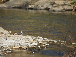 Not a great photo of the Wagtail