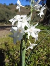 Paperwhite Narcissus - I think