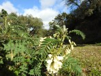 Astragalus tragacantha - I think