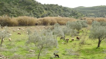Sheep in the pastures