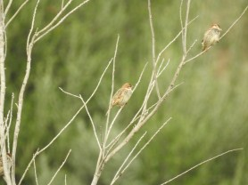 Sparrows in the fig tree