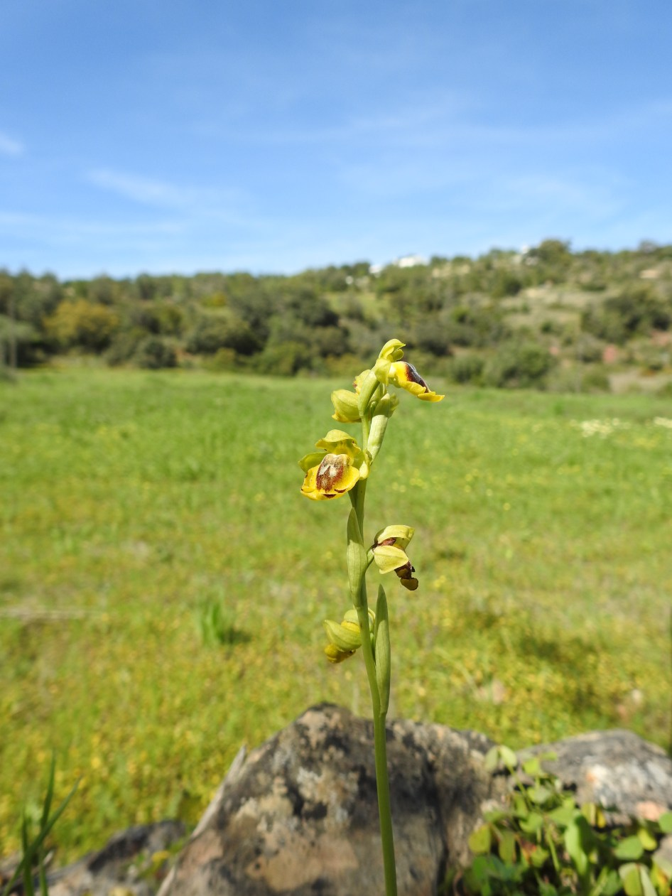 Ophrys lutea - yellow bee orchid