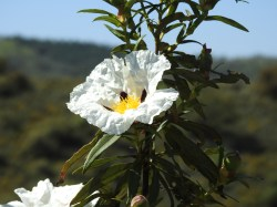 Cistus in close up