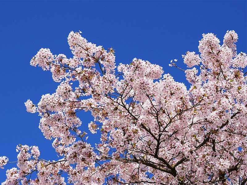 rencontre site conseiller Cherry Blossom service dés datant