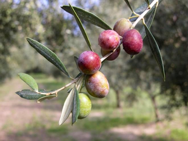 La Raccolta delle Olive - Azienda Agricola Arcaverde