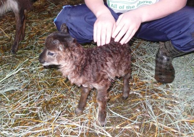 Newborn Lamb #3